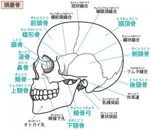 頭蓋骨は23個の骨のパズルでできている。